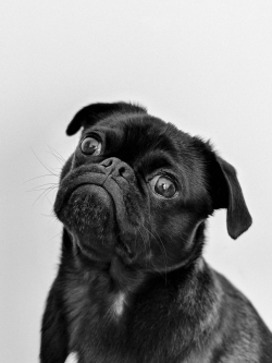 Photoshop Contest - Pug (3 Entries)