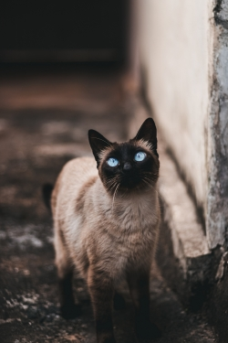 Photoshop Contest - blue eyes cat (2 Entries)
