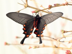 Photoshop Contest - black butterfly (2 Entries)