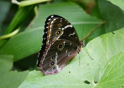 uncommon butterfly